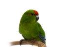 Red fronted kakariki parakeet on white cyanoramphus novaezelandiae isolated Stock Images
