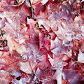 Red Frozen Leaves