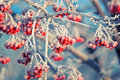 Red frozen Rowan berries covered with white hoarfrost in winter Park Royalty Free Stock Photo