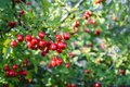 Red fruit of hawthorn decorative in the beginning of autumn on a sunny day. Moscow region, Russia Royalty Free Stock Photo
