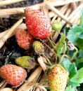 Red fruit strawberries in garden Royalty Free Stock Photo