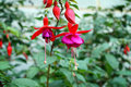Red fuschia flowers a cluster of buds dangling Stock Image