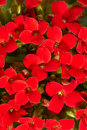 Red geranium Stock Images