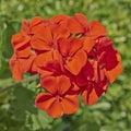 Red geranium bunch closeup in the garden Stock Image