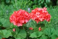 Red geranium in park very beautiful Royalty Free Stock Photo