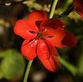 Red Geranium Van Dusen Garden Vancouver Royalty-vrije Stock Afbeeldingen