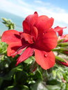 Red geraniums on a balcony with sea and sky as background Stock Photography