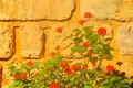 Red geraniums bright against wall of large limestone blocks Royalty Free Stock Photos