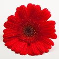 Red Gerber Daisy Royalty Free Stock Photo