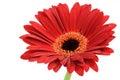 Red gerber daisy Royalty Free Stock Photo