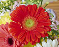 Red gerber daisy flower closeup vibrant Royalty Free Stock Photos