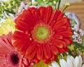 Red gerber daisy flower closeup vibrant Royalty Free Stock Photos