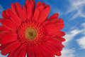 Red Gerber daisy with sky Royalty Free Stock Photography