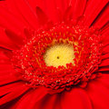 Red gerbera Royalty Free Stock Image