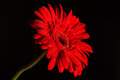 Red Gerbera On Black Background