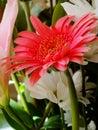 Red Gerbera Daisy Royalty Free Stock Photo