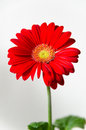 Red gerbera daisy on white background Royalty Free Stock Photo