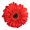 Red gerbera flower Royalty Free Stock Photo