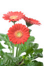 Red gerbera flower Stock Image