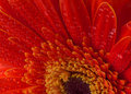 Red gerbera flower background Royalty Free Stock Photo