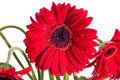 Red gerbera flower front view close up Royalty Free Stock Images