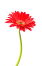 Red gerbera flower isolated Royalty Free Stock Photo