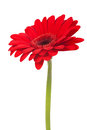 Red gerbera flower isolated on white background Royalty Free Stock Photo