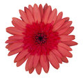 Red gerbera flower isolated on white Royalty Free Stock Photo