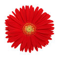 Red gerbera flower isolated on whute Royalty Free Stock Images