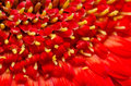 Red gerbera flower polen close up Stock Image