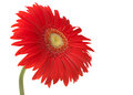Red gerbera flower white Royalty Free Stock Photos