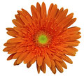Red gerbera flower, white isolated background with clipping path.   Closeup.  no shadows.  For design. Royalty Free Stock Photo