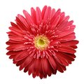 Red gerbera flower on a white isolated background with clipping path. Closeup. no shadows. For design.