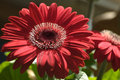 Red gerbera flowers in full bloom Royalty Free Stock Images