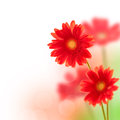 Red gerbera flowers  isolated on white Royalty Free Stock Photo