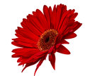 Red gerbera isolated Stock Photo
