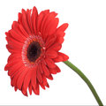 Red gerbera isolated Royalty Free Stock Photo