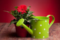 Red Gerbera And Watering Can Royalty Free Stock Images