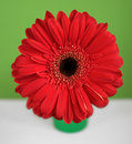 Red gerberas daisy on green and white background Stock Photography