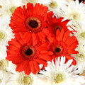 Red gerberas natural and white florals Royalty Free Stock Photo
