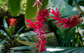 Red ginger flower the hanging of a plant alpinia purpurata from the pacific islands in a tropical greenhouse Stock Photography
