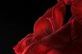 Red Gladiolas Close-up Royalty Free Stock Photo