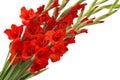 Red Gladiolus Flowers