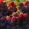 Red globe grapes macro square composition Stock Photo