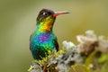 Red glossy shiny bird. Fiery-throated Hummingbird, Panterpe insignis, colour bird sitting on larch branch. Red shiny hummingbird i