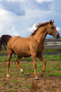 Red Gold arabian horse Stock Photos