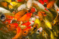 Red and gold fishes over water Royalty Free Stock Photo