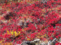 Red-golden alpine vegetation background Royalty Free Stock Images