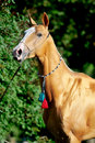 Red golden horse akhal-teke portrait in summer Stock Image