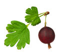 Red gooseberry Stock Photography